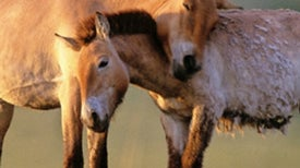 News Bytes of the Week--Przewalski's Prize: Vets Reverse Vasectomy on Endangered Horse