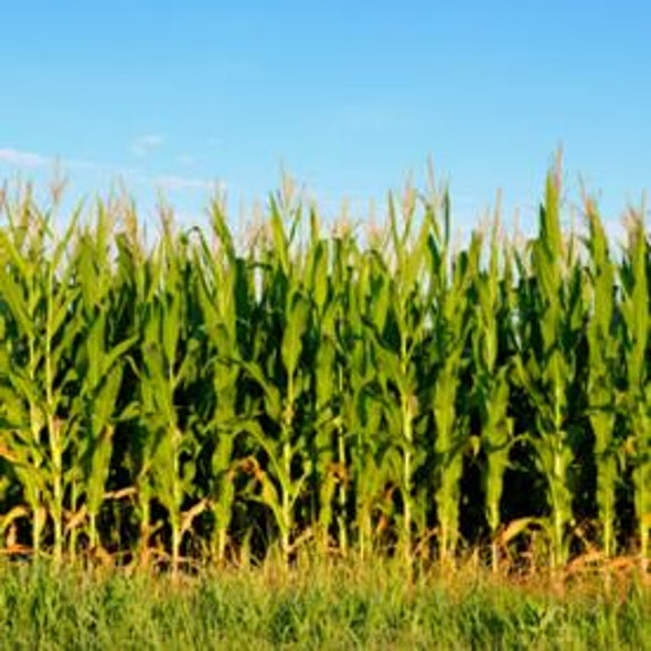 Coming to a Cornfield Near You: Genetically Induced Drought-Resistance