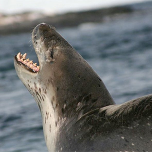 Leopard Seals Suck Up Dinner