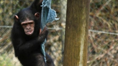 Chimp Research Facility Found Not Guilty of Breeding Animals