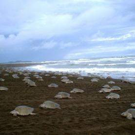 Illegal Sea Turtle Egg Poaching on the Rise in Costa Rica