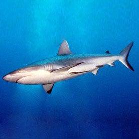 Shark Savers SharksCount