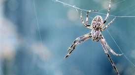 Fact or Fiction? People Swallow 8 Spiders a Year While They Sleep
