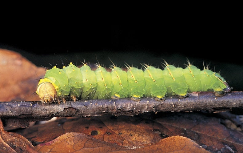 Cannibalism Quells Contagion Among Caterpillars