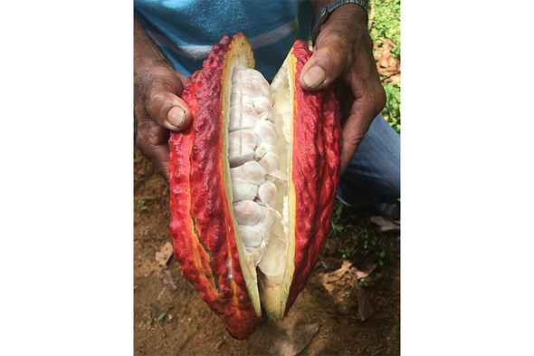 Searching for Chocolate's Roots, and Enemies, in Colombia's Wilderness