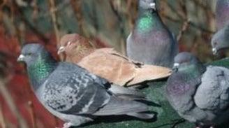 Pigeon Watch
