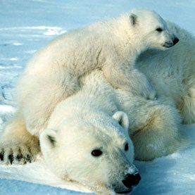 How Old Is the Endangered Polar Bear?