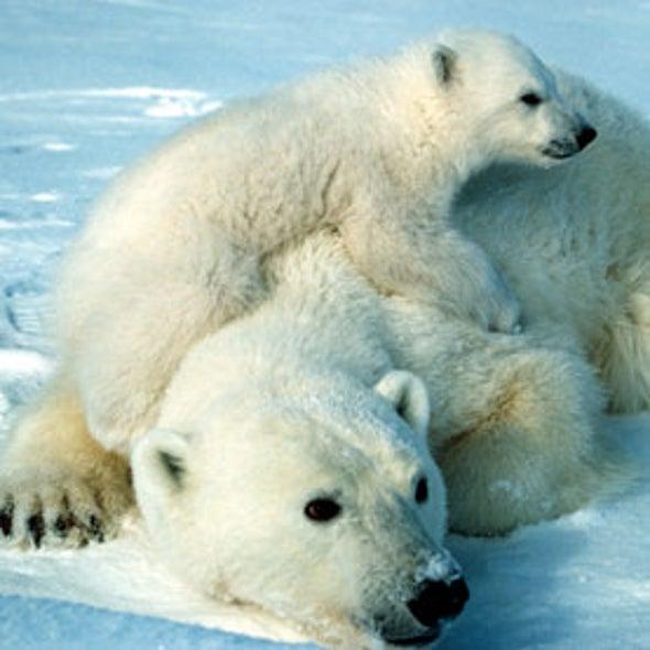 How Old Is the Endangered Polar Bear?