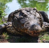 The critically endangered Cuban crocodile<br>