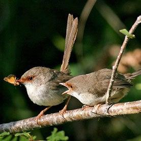 Fairy-wrens