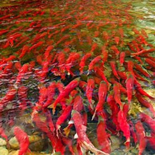 Upstream Battle: What Is Killing Off the Fraser River's Sockeye Salmon? [Slide Show]
