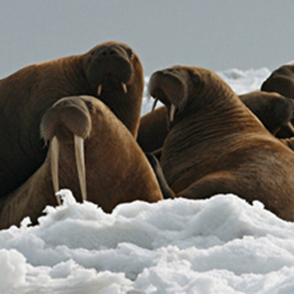 Melting Ice Turns 10,000 Walruses into Landlubbers