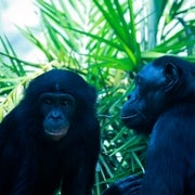 Chimps and Bonobos Swapped Genes Through Ancient Flings
