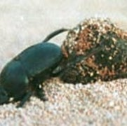 Moonlight Keeps Dung Beetles on Course