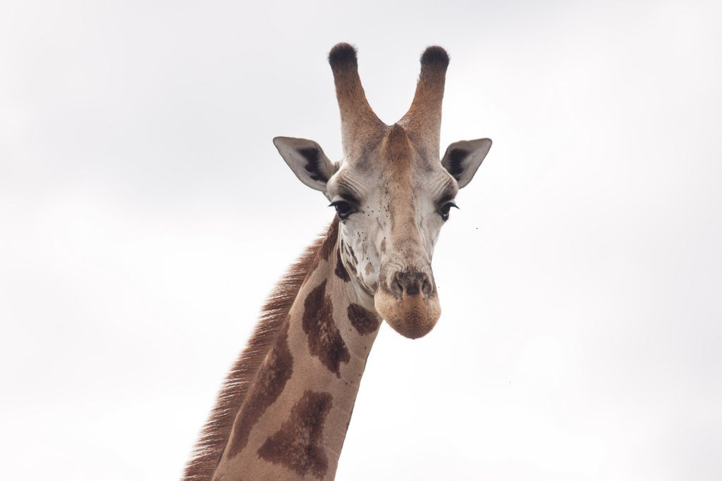 Giraffes Are In Trouble The U S Endangered Species Act Can Help Scientific American