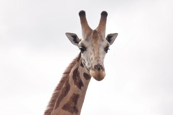 Giraffes Are in Trouble--the U.S. Endangered Species Act Can Help