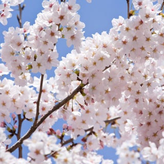 What Can Climate Models Tell Cherry Growers?