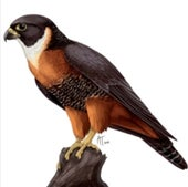 """AN ORANGE-BREASTED FALCON"":"