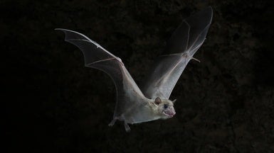 Baby Bats Can Learn Different Dialects