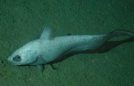 In a Scrape: Seafloor Trawling Threatens Deep Ocean Species