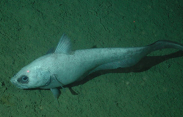 In a Scrape: Seafloor Trawling Threatens Deep Ocean Species