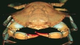 Crabs Capable of Switching Skeletons