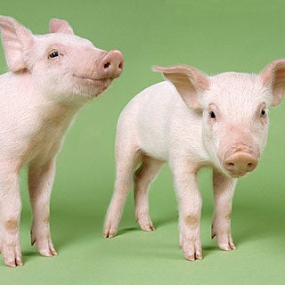 Are We Eating Cloned Meat?