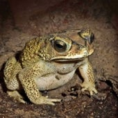 INDIAN TOAD