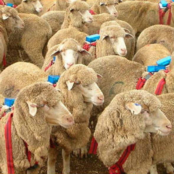 Lambs on the Lam Suggest Selfishness Motivates Herd Behavior
