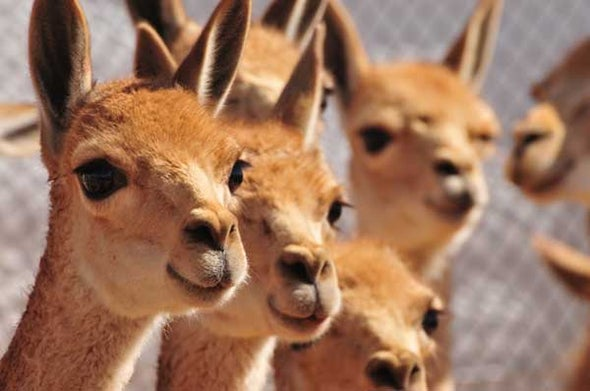 Poaching Upsurge Threatens South America's Iconic Vicuña