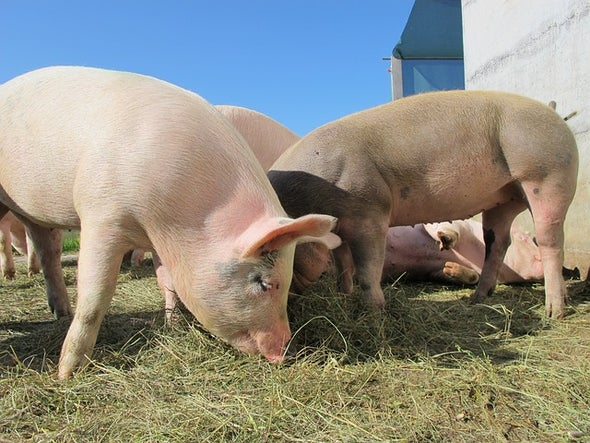 Gene-Editing Record Smashed in Pigs
