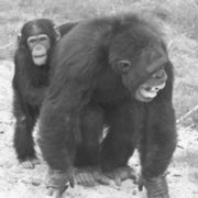 Simian Solicitude: Like Humans, Chimpanzees Console Victims of Aggression
