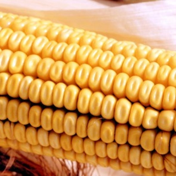 Heat, Drought Continue to Threaten U.S. Corn Crops