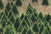 把圣诞树变成食物和药物