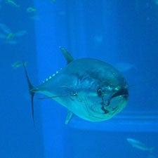bluefin-tuna-vanishing-from-overfishing