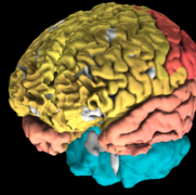 3-D model of the human brain: