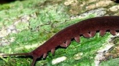 New Glue-Spitting Velvet Worm Found in Vietnam