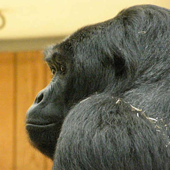 The Impact of Congo Violence on Lowland Gorillas
