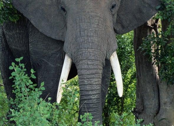 Elephant Ivory DNA Reveals Poaching Hotspots