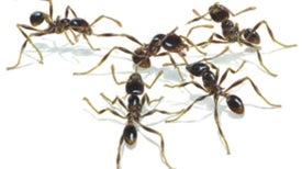 Battles among Ants Resemble Human Warfare