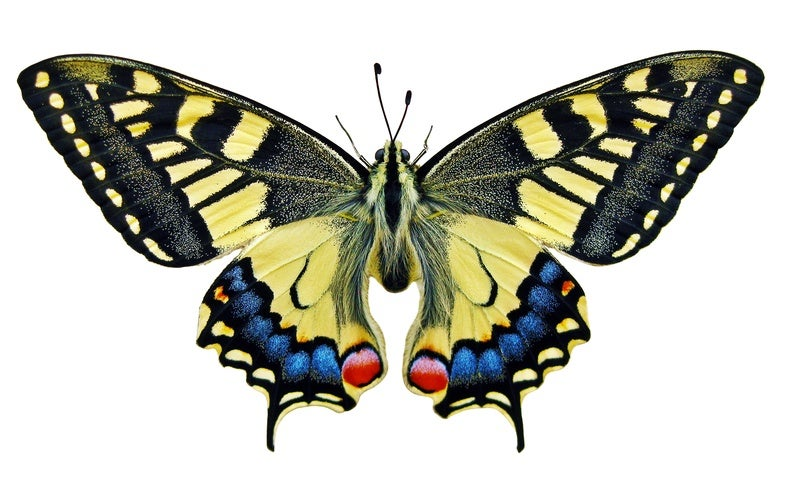 The Oldest Known Butterflies Existed Before Flowers