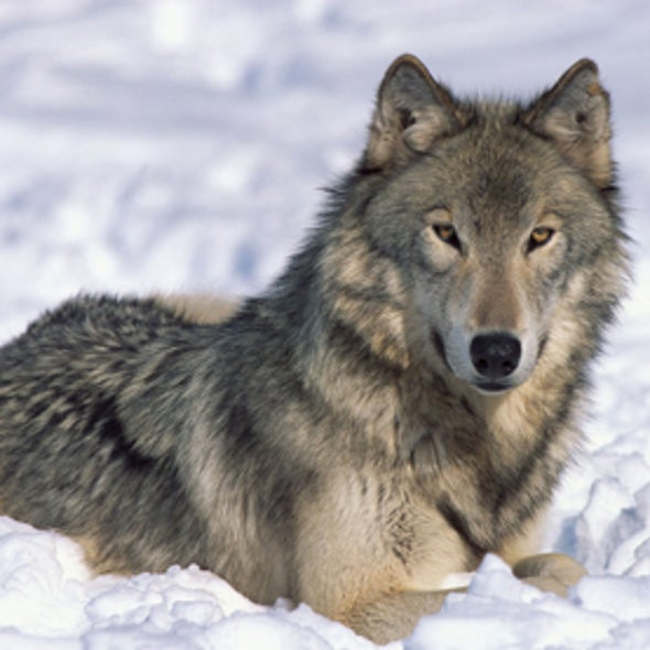 Doggone: U.S. Delists Gray Wolves as Endangered Species in Some Rocky Mountain States