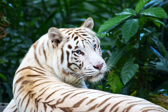The Tragedy of the White Tiger