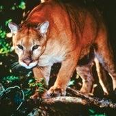 Florida Panther: