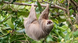 Sloths Slowly Cavort by Day Now