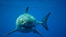 Shark Fight: Scientists Complain about Rival Great White Tagging