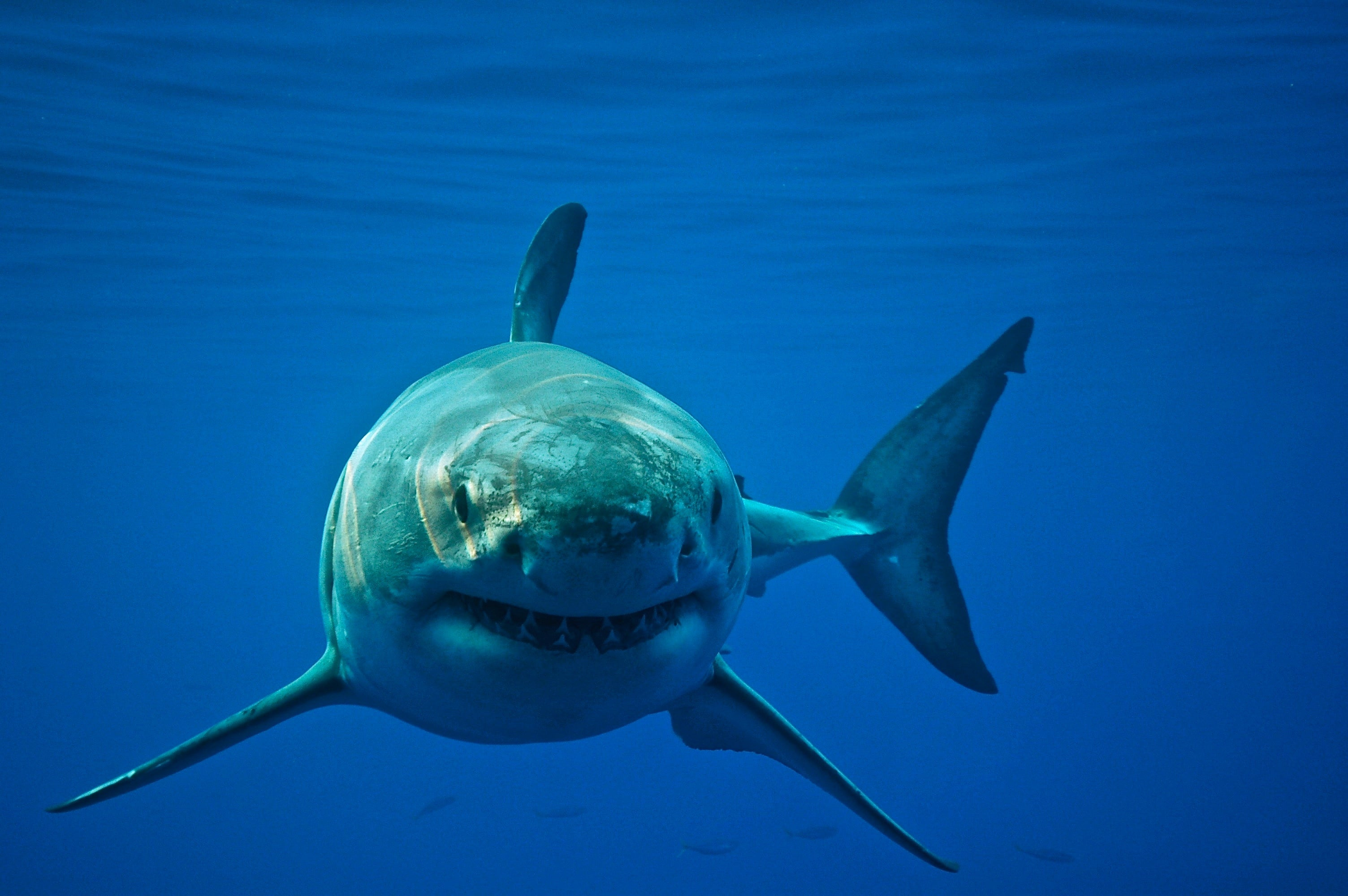 Shark Fight: Scientists Complain about Rival Great White Tagging ...