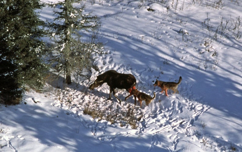 Wolf Transplant Could Reset Iconic Island Study