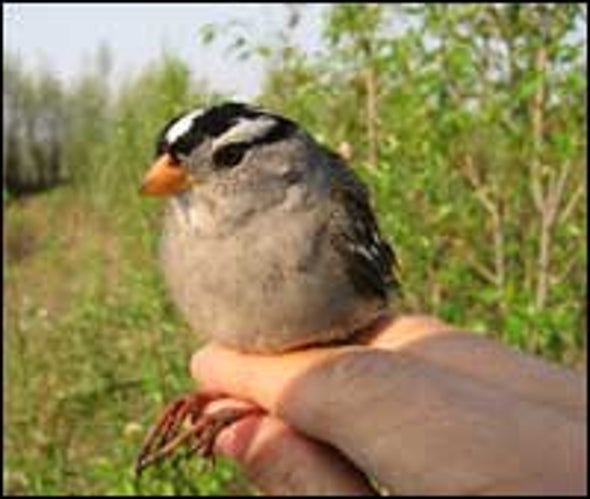 Songbirds Can 'Stash' Sleep during Migrations