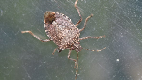 Scientists Pick Up the Genetic Scent of Stinkbug Invaders